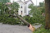 picture of wind blown  - Wind damage to a tree after a storm in the Midwest - JPG