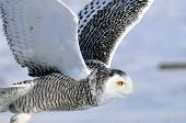 image of snowy owl  - Snowy Owl flying over the snow covered winter tundra or grassland prairies with a background of blue sky - JPG