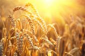 Постер, плакат: Golden wheat field Ears of wheat close up Beautiful Nature Sunset Landscape Rural Scenery under S