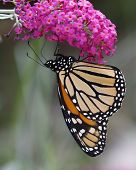 Постер, плакат: Monarch Butterfly On A Butterfly Bush