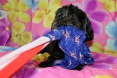 A beautiful purebred female black Maltese Puppy smiles as she lays upon a colorful flower pattern si poster