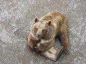 Braun Bear poster