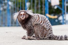 foto of marmosets  - White Eared Marmoset  - JPG