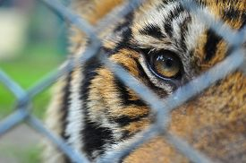 picture of tiger eye  - the eyes of little tiger look pass steel net baluster cage so alone with hope back to forest - JPG