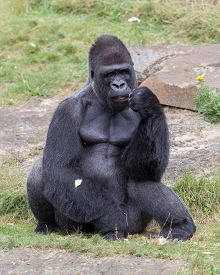 pic of gorilla  - Silver backed male Gorilla enjoying some fruit - JPG
