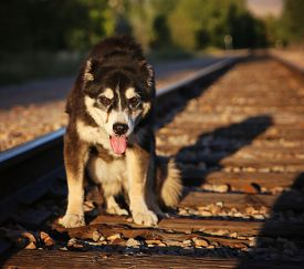 foto of dog tracks  -  a senior mixed breed dog sitting on some train tracks with a long shadow cast by the setting sun during sunset on a warm summer evening  - JPG