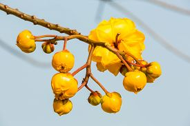 pic of yellow buds  - Close up of yellow Silk Cotton  - JPG