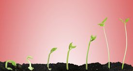 stock photo of germination  - Bean seed germination different stages on pink background - JPG