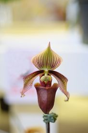 foto of rare flowers  - Thai lady slipper one of the rare orchid flowers - JPG