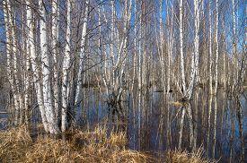 stock photo of birchwood  - The birchwood is waterlogged by flood waters - JPG