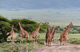 picture of herbivore animal  - Wild animals of Africa a herd of giraffes crossing the road in the Serengeti reserve - JPG