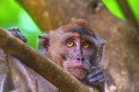 picture of macaque  - Portrait of sad monkey with bright yellow eyes looking in camera - JPG
