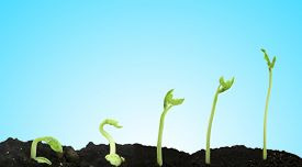 picture of germination  - Bean seed germination different stages blue background - JPG