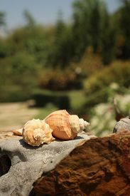 picture of conch  - conch shell on brown stone at the garden - JPG