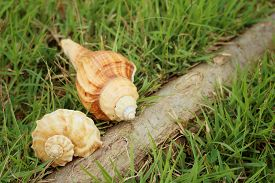 picture of conch  - conch shell on a background of green grass - JPG