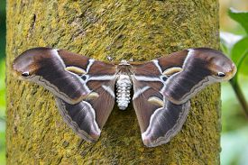 picture of moth  - The Atlas Moth is a native of Southeast Asia and has the largest wing surface of any moth in the world - JPG