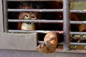 picture of orangutan  - Lonely aged orangutan no freedom inside the cage  - JPG