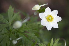 pic of windflowers  - Single white flower of Anemone  - JPG