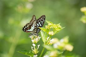 image of lantana  - Common Jay butterfly Graphium arycles on Lantana flower. ** Note: Soft Focus at 100%, best at smaller sizes - JPG