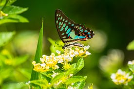 picture of lantana  - Common Jay butterfly - JPG