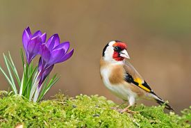 pic of goldfinches  - Photo of goldfinch standing next to crocus flower - JPG