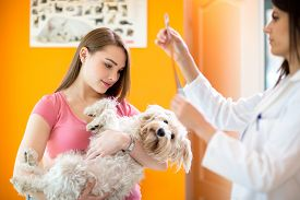 stock photo of maltese  - Girl holding sick maltese dog while veterinarian reading x ray of maltese dog - JPG