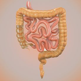 picture of feces  - The large intestine - JPG