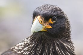 image of falklands  - A headshot of Striated Caracara  taken in the Falkland Islands - JPG