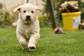 stock photo of golden retriever puppy  - Golden retriever puppy run from front view - JPG