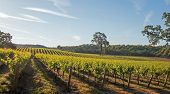 California Valley Oak Tree In Vineyard At Sunrise In Paso Robles Vineyard In The Central Valley Of C poster