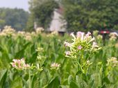 picture of tobacco barn  - A tobacco plant flower in a field with tabacco barn in background