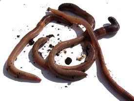 picture of nightcrawler  - Muddy and dirty earthworms against a white background - JPG