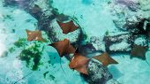 Many Young And Healthy Sting Rays Swimming Peacefully In The Warm Water Of Nassau In The Bahamas. poster