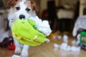 Dog Mischief. Funny And Guilty Jack Russell Destroyed A Fabric And Fluffy Ball And Toys At Home. poster