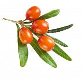 picture of sea-buckthorn  - sea buckthorn berries isolated on the white - JPG