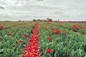 Converging Rows Of Red Flowering Tulips From Which Most Of The Flower Heads Have Already Been Cut Of poster