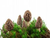 stock photo of morel mushroom  - Morel mushrooms and natural habitat moss and grass isolated over white - JPG