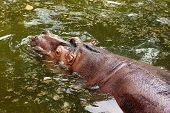 image of behemoth  - huge brown behemoth lies in the water - JPG