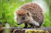 Cute common hedgehog on a stump in spring or summer forest during dawn. Young beautiful hedgehog in  poster