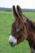 pic of jack-ass  - Head image of a chocolate brown adult female donkey still exhibiting her winter coat - JPG