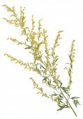 picture of sagebrush  - Medicinal plant - JPG