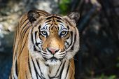 foto of tigers  - The big Bengal tiger growls in the Thai zoo - JPG
