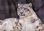 picture of panthera uncia  - Snow Leopard - JPG