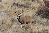 foto of mule  - Big buck mule deer standing in grass - JPG