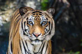pic of sate  - The big Bengal tiger growls in the Thai zoo - JPG