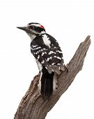 foto of woodpecker  - A wise old woodpecker forms a v - JPG