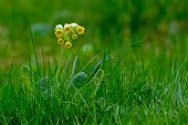 stock photo of cowslip  - The Common cowslip  - JPG