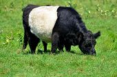 stock photo of cattle breeding  - The Belted Galloway is a heritage beef breed of cattle originating from Galloway in South West Scotland - JPG