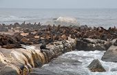 Colony Of Wild Fur Seals (South Africa)