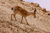 stock photo of jericho  - While entering the cable car to go up to Masada I spotted this fawn following others on the slope - JPG